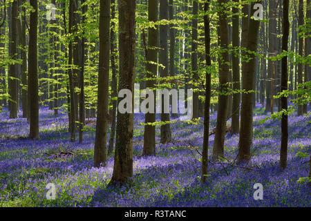 Belgique, Hainaut, Halle, Hallerbos, Bluebell flowers, Hyacinthoides non-scripta, forêt de hêtres au début du printemps
