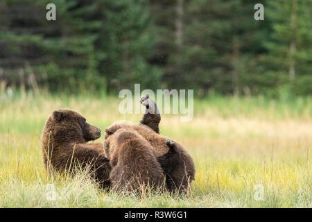 Un ours brun, également appelé Ours grizzli (Ursus arctos) infirmières ses oursons dans Lake Clark National Park, Alaska. Banque D'Images