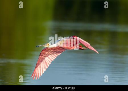 USA, Louisiane, Jefferson Island. Roseate spoonbill en vol. Banque D'Images