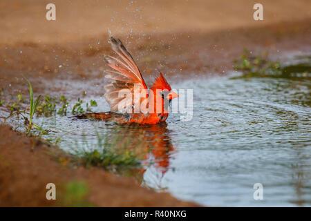 Cardinal rouge (Cardinalis cardinalis) mâle echelle Banque D'Images