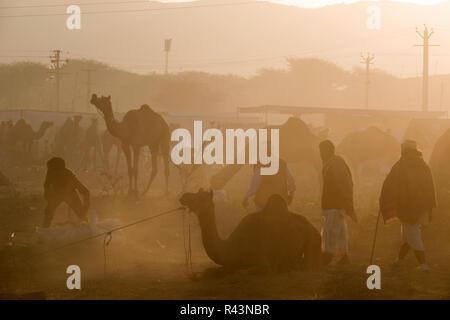 Les chameaux et les gens scène tôt le matin juste à Pushkar au Rajasthan, Inde Banque D'Images