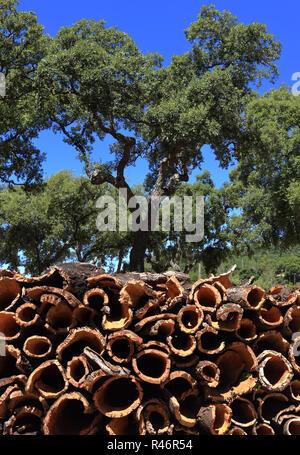 Le Portugal, l'Alentejo près de Evora - arbres - chêne-liège Quercus suber, nouvellement dépouillé avec écorce de liège le séchage au soleil. Banque D'Images