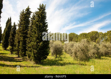 Cyprès, oliviers, Toscane, Italie, Europe, (Cupressus sempervirens), (Olea europaea) Banque D'Images
