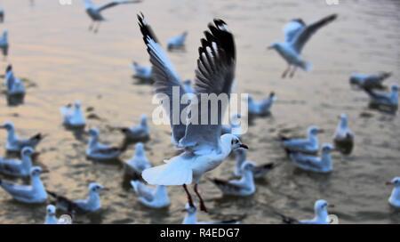 Allahabad, Uttar Pradesh, Inde. 27 Nov, 2018. Allahabad: oiseaux de Sibérie migratrices volant à Sangam la confluence de fleuve Ganga, Yamuna et Sarswati mythologique, pendant le coucher du soleil à Allahabad. Credit: Prabhat Kumar Verma/ZUMA/Alamy Fil Live News Banque D'Images