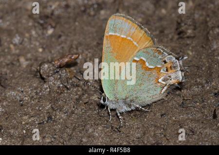 Hairstreak Callophrys gryneus Juniper, de flaques de boue,