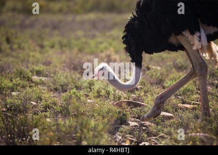 Autruche mâle (Struthio camelus) se nourrir dans la nature Le parc national du Karoo, Afrique du Sud