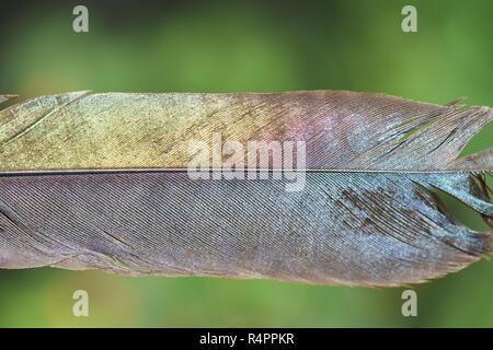 Couleur brillant de plumes d'oiseaux pie sur fond vert Banque D'Images