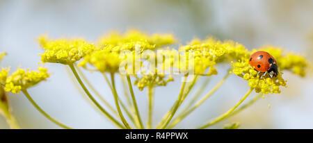 7-spot Ladybug (coccinelle, Coccinellidae) se nourrissant de fleurs d'anis. Banque D'Images