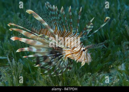 Poisson-papillon rouge (Pterois volitans) nager sur le fond avec de l'herbe de mer en eau peu profonde, Mer Rouge, Hurghada, Egypte Banque D'Images