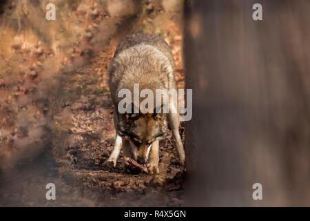 Canis lupus, le loup dans la forêt de manger Banque D'Images