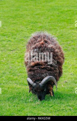 Mouflon (Ovis gmelini européenne / Ovis ammon musimon / Ovis orientalis musimon) ram avec grandes cornes dans les prairies. Fécamp. Normandie. France Banque D'Images