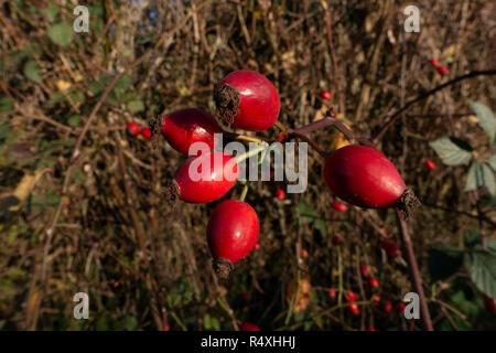 Les bourgeons d'églantier d'automne près de Turckheim, Royaume-Uni. La rose de la hanche ou de l'églantier, appelé aussi rose haw et rose hep, est le fruit de l'accessoire rose est une plante. Il est généralement rouge à l'orange, mais varie de pourpre foncé à noir chez certaines espèces. Cynorrhodons commencent à se former après le succès de pollinisation des fleurs au printemps ou au début de l'été, et mûrissent à la fin de l'été à l'automne. Banque D'Images