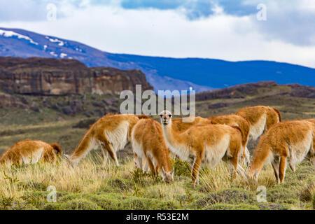 Guanacos sont l'un des membres de la famille de chameaux trouvés dans le nouveau monde, ici à Torres del Paine, Chili