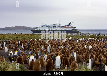 Une grande colonie de manchots royaux sur l'île de Géorgie du Sud avec l'expédition expédier la National Geographic Orion dans l'arrière-plan