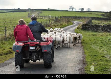Les agriculteurs sur troupeaux de moutons, de quad près de West Scrafton, Coverdale, Yorkshire Dales National Park, Royaume-Uni Banque D'Images