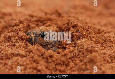 KUNAPALARI KUNAPALARI NEOBATRACHUS (grenouille), Goldfields, l'ouest de l'Australie. Banque D'Images