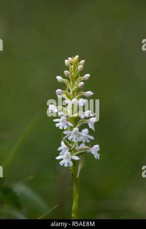 Orchidée parfumée; Gymnadenia conopsea; floraison; Yorkshire UK Banque D'Images