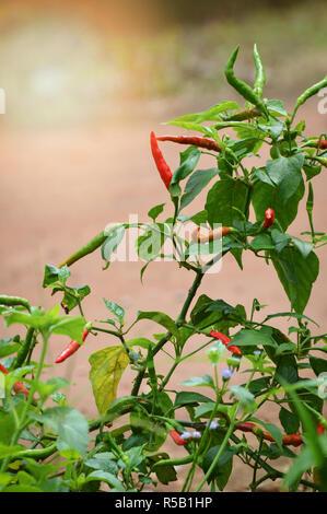 Padi / chili poivre thaï sur arbre dans le jardin de chili Banque D'Images