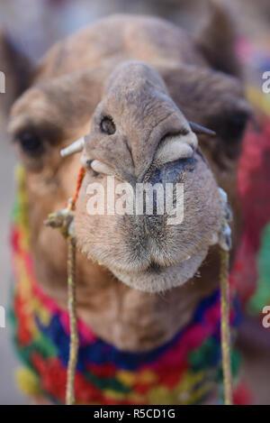 Un chameau chameau décorées à Pushkar Fair, une foire de l'élevage annuel tenu dans la ville de Pushkar, Rajasthan, Inde de l'Ouest, en Asie. Banque D'Images