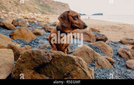 Un poil lisse rouge chien teckels miniatures se dresse sur un rocher sur une plage. à Whitby, Angleterre, Royaume-Uni.