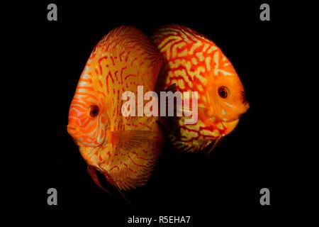 Aquarium de poissons Poissons discus (Symphysodon) isolé sur fond noir