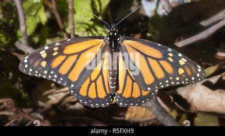 Un gros plan du papillon monarque reste sur une branche dans les Appalaches du Tennessee. Banque D'Images