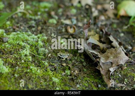 Petite grenouille sur un rocher avec mousse et feuilles, Maine Banque D'Images