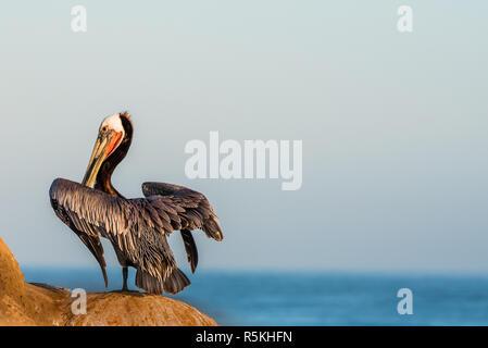 Pélican brun perché sur les falaises à La Jolla, Californie regardant la mer avec copie espace et close up.