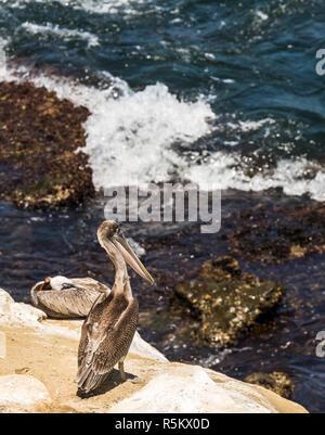 Pélican brun perché sur les falaises à La Jolla, Californie, USA, en regardant de près.