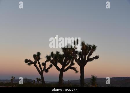 Les formes uniques de beaux cactus Joshua Tree exposé dans le coucher du soleil de la ville et les collines de Joshua Tree, en Californie. Notez l'espace dans le ciel Banque D'Images