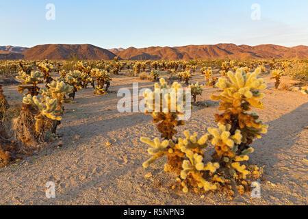 Cholla Cactus Garden chaîne entourée de montagnes au coucher du soleil dans le parc national Joshua Tree, California USA. Jardin de cactus paysage dominé par l'épineuse