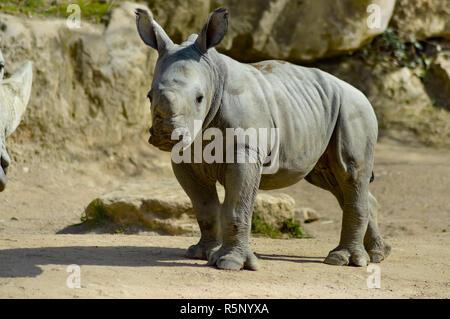 Les jeunes rhinocéros sur un fond de roche Banque D'Images