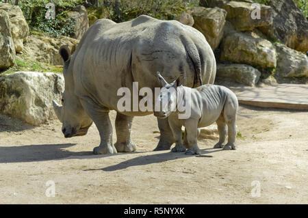 Les jeunes rhinocéros et maman sur un rocher Banque D'Images