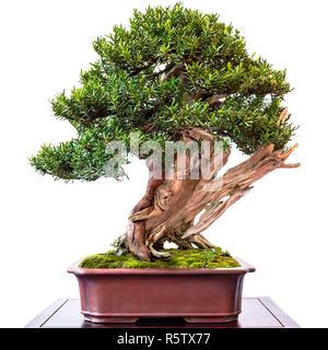 If de conifères pour la culture de bonsai avec deadwood