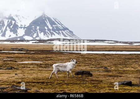 Renne du Svalbard, Rangifer tarandus, exécuté sur tundra à Russebuhkta, Edgeøya, archipel du Svalbard, Norvège. Banque D'Images