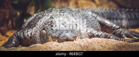 Dans le zoo d'alligator Banque D'Images