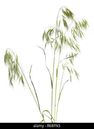 Le Bromus tectorum, connu sous le nom de brome Le brome ou tombantes. Isolé Banque D'Images