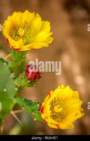 Fleurs jaune d'un cactus de floraison