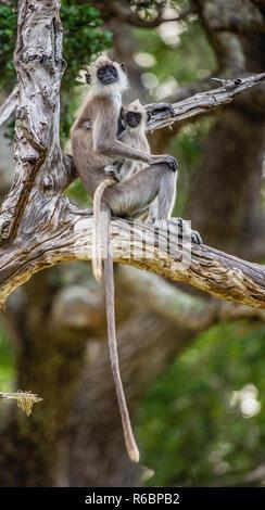 Avec un Langur cub est assis sur un arbre. Entelle gris touffetée (Semnopithecus priam), également connu sous le nom de Madras gray langur, Coromandel et langur sacré. Banque D'Images