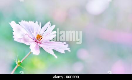Rose délicate fleur daisy cosme sur un magnifique arrière-plan. Copy space Banque D'Images