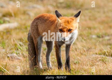 Jeune européen Red Fox (Vulpes vulpes), le Parc National de Babia Gora, Pologne Banque D'Images