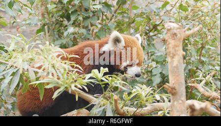 Le panda rouge se trouvant sur l'écorce des arbres Banque D'Images