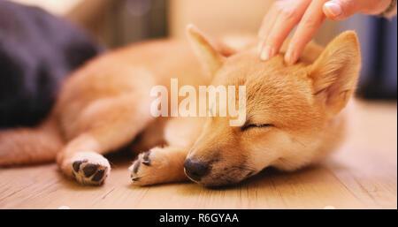 Propriétaire d'animal de caresse sur petit chiot Shiba Inu chien