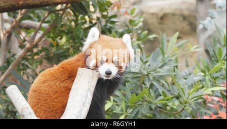 Adorable panda rouge Banque D'Images