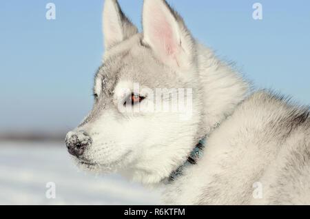 Siberian husky chien gris et blanc, bleu ciel et gros plan du côté droit tonique Banque D'Images