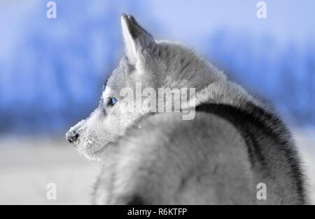 Siberian husky chien gris et blanc, gros plan du côté des yeux bleus et des tons de ciel libre Banque D'Images