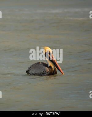 Un pélican brun prend une pause de la pêche dans le golfe du Mexique à la sortie de Tarpon Beach sur l'île de Sanibel, la Floride. Banque D'Images