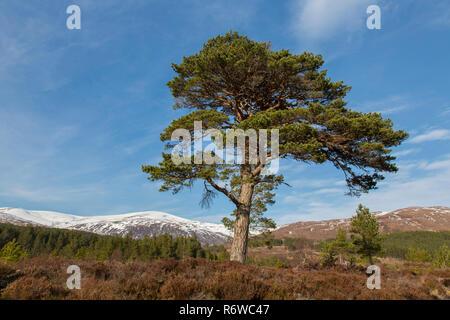 Les solitaires le pin sylvestre (Pinus sylvestris) dans la région de Glen Affric en hiver, Inverness-shire, les Highlands écossais, Highland, Scotland, UK Banque D'Images