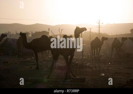 Lever du soleil sur les chameaux et les éleveurs à Pushkar fair, Rajasthan, Inde Banque D'Images