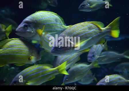 Bordée bleu poisson vivaneau / école de natation bleu bordée snapper la vie marine de l'océan sous-marine (Lutjanus kasmira) Banque D'Images
